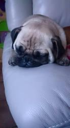 sleepy mopsie