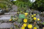 Opuntia flowering