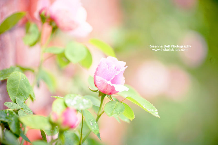 Raindrops on Roses - Day 129 by rosannabell