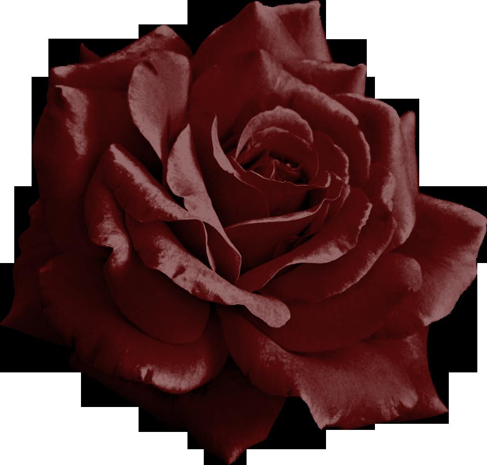 Burgundy Rose Png by yotoots on DeviantArt