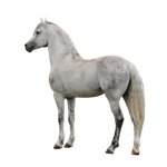 Horse png 2