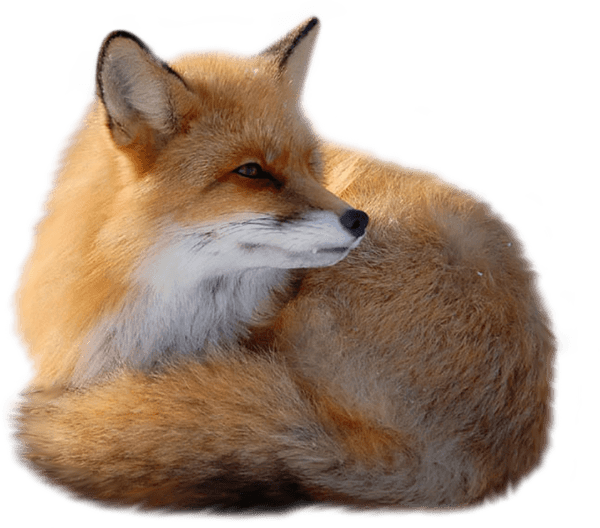 Red Fox PNG by yotoots