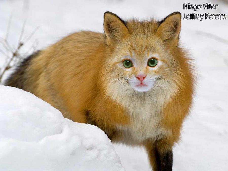 FoxCat by HiagoVitor on DeviantArt