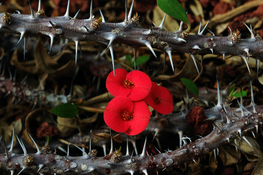 Flower between thorns by ASHLEIGH1993 - Hasa sko to SATH DO, Rula sko to SATH DO ??