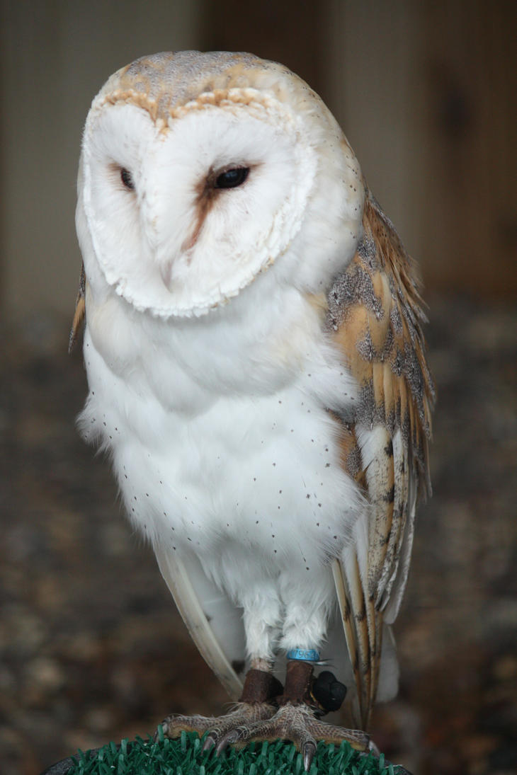 Barn Owl by EdgedFeather