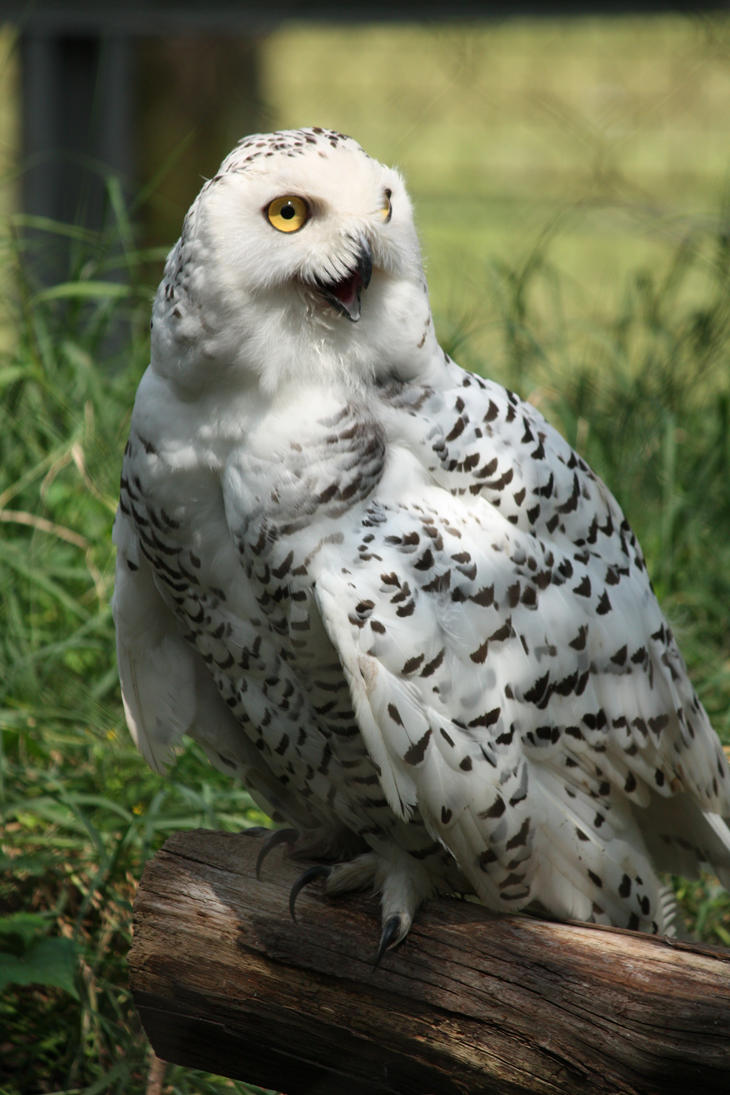Snowy Owl 2 by EdgedFeather