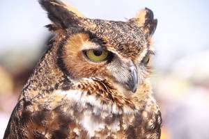 Great Horned Owl 2 by EdgedFeather