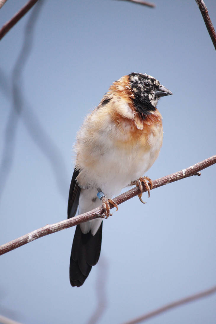 Cut-throat Finch by EdgedFeather