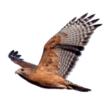 Red Shouldered Hawk cutout by EdgedFeather