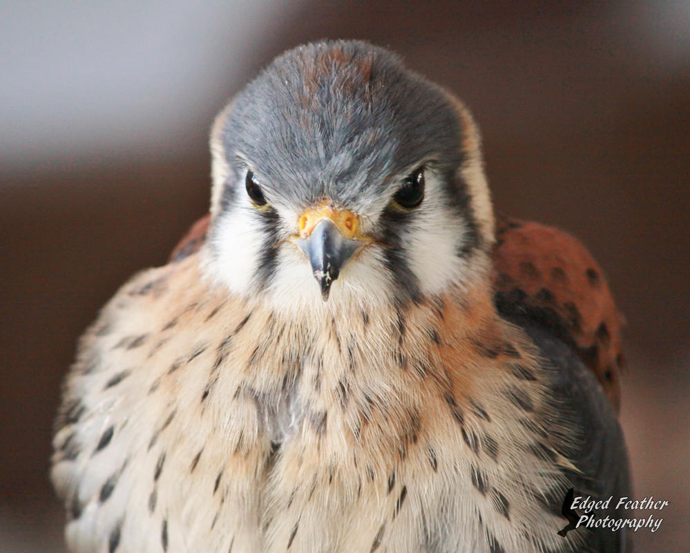 American Kestrel 5 by EdgedFeather