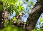 Red Shouldered Hawk Nest