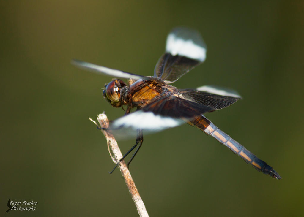 Dragonfly 2 by EdgedFeather