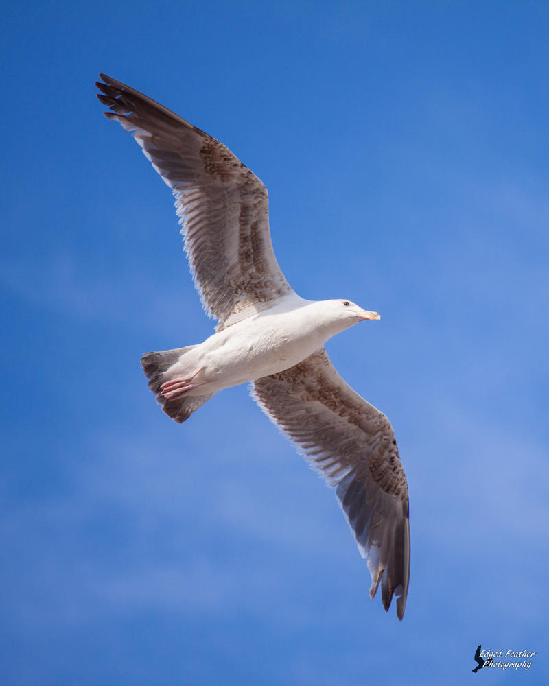 Herring Gull 2 by EdgedFeather