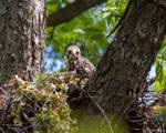 Red Shouldered Hawk Nest 2
