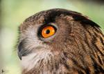 Owlexander