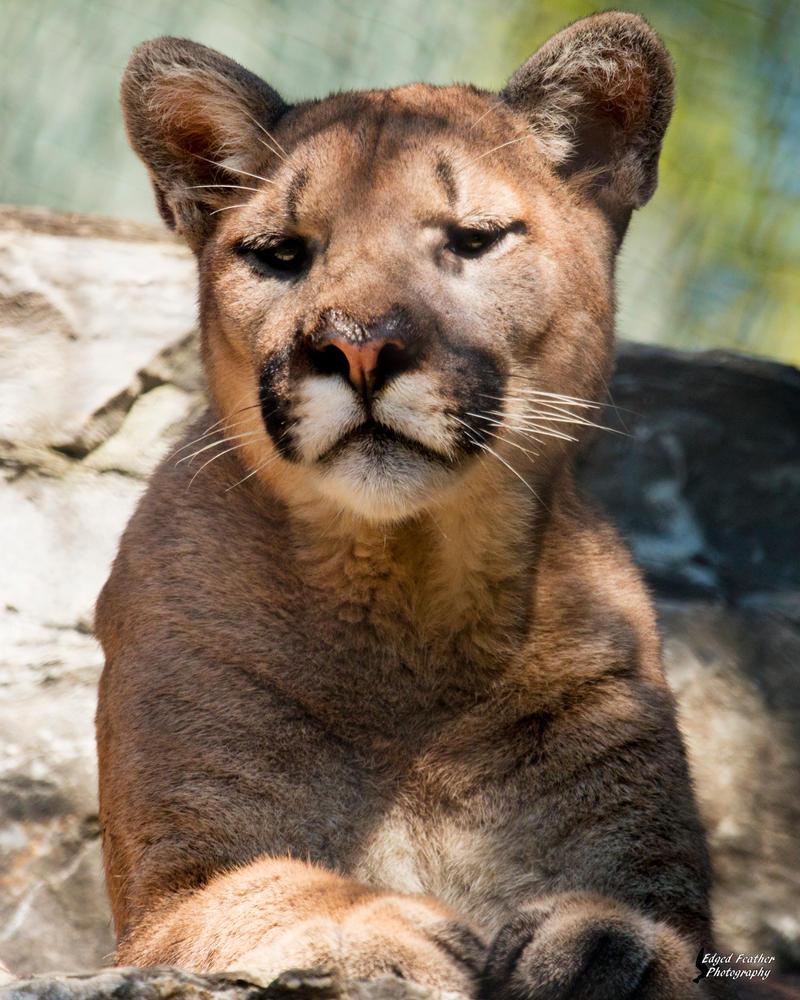 Mountain Lion 5 by EdgedFeather