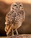Burrowing Owl 2