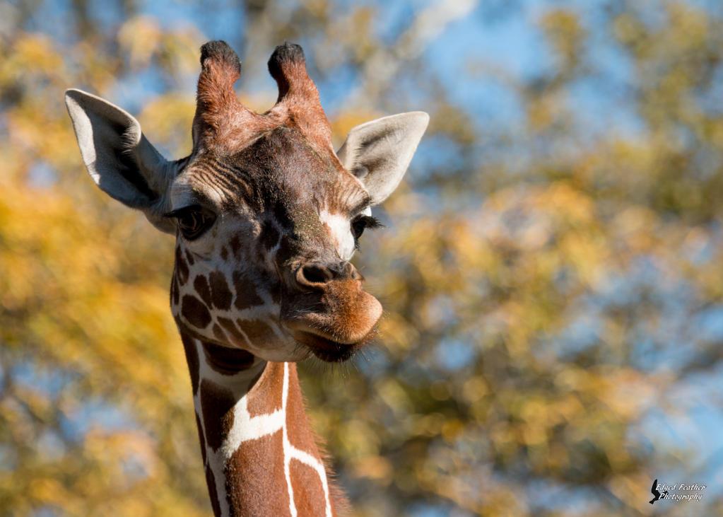 Giraffe 4 by EdgedFeather