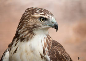 Red Tailed Hawk 4 by EdgedFeather