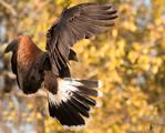 Harris Hawk by EdgedFeather
