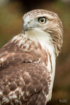Red Tailed Hawk 5