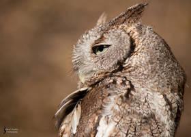 Screech Owl 2 by EdgedFeather