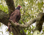 Turkey Vulture 3