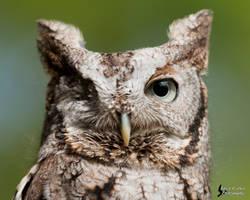 Screech Owl 4 by EdgedFeather