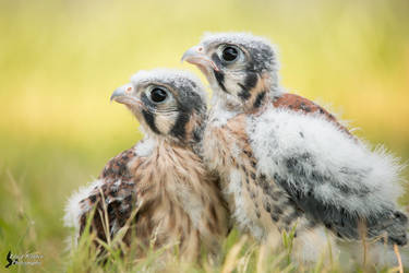 Baby American Kestrels 2 by EdgedFeather