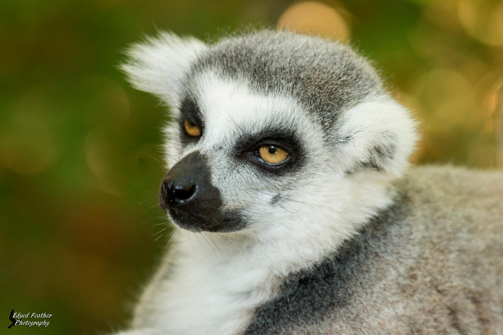 Ring-tailed Lemur 2 by EdgedFeather