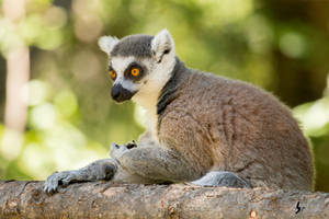 Ring-tailed Lemur by EdgedFeather