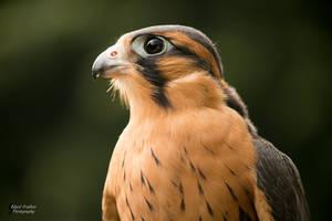 Aplomado Falcon by EdgedFeather