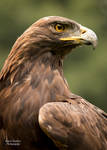 Golden Eagle 2 by EdgedFeather