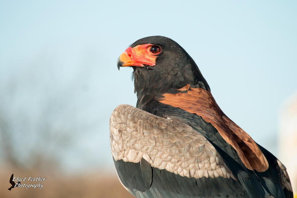 Bateleur Eagle by EdgedFeather
