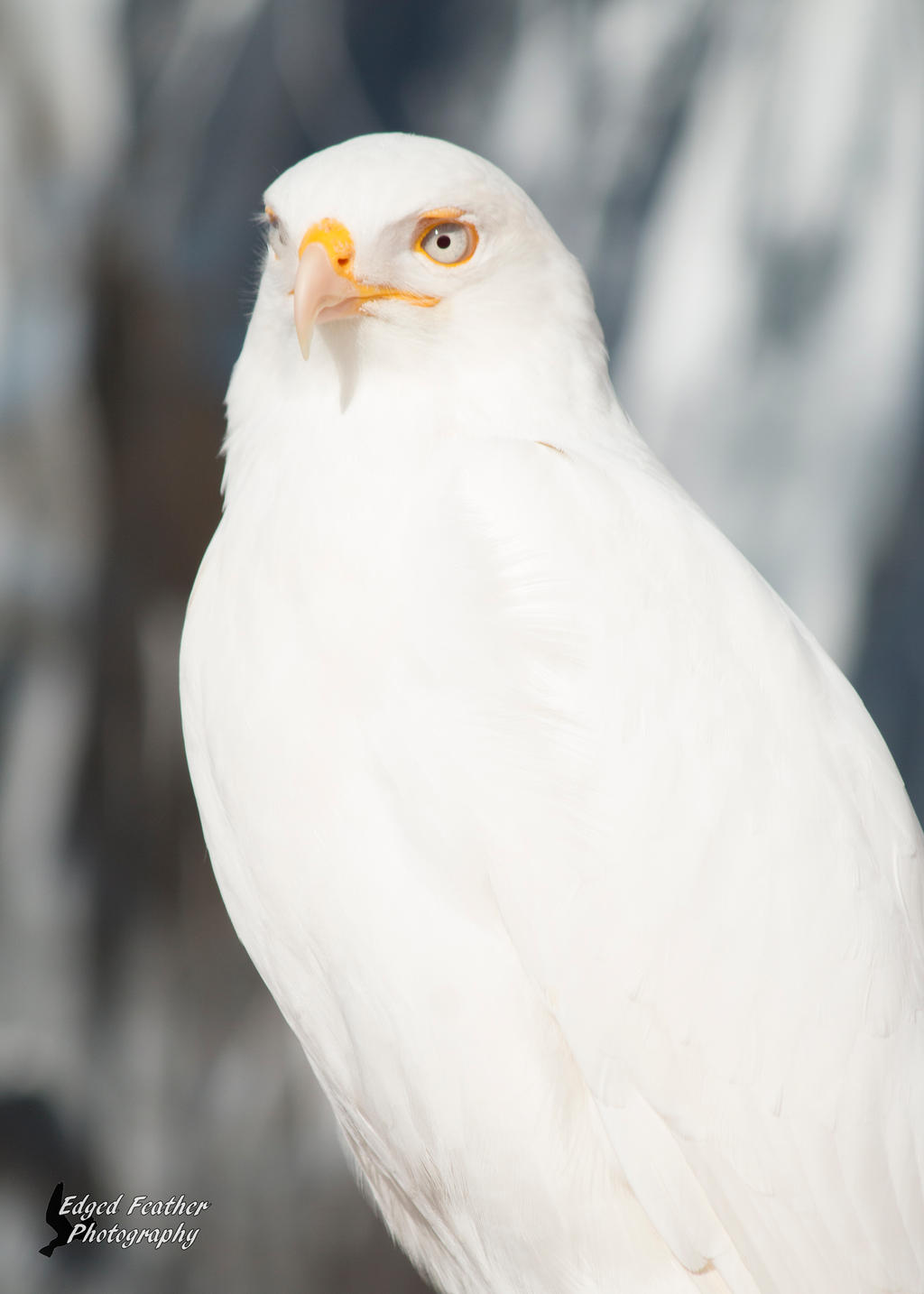 Leucistic red tailed hawk 2 by edgedfeather on deviantart - Red tailed hawk wallpaper ...