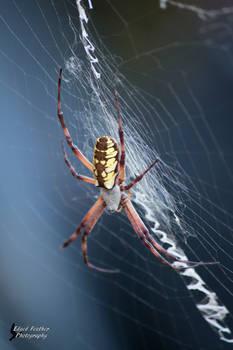 Yellow Garden Spider