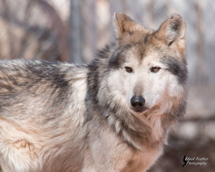 Mexican Gray Wolf 4