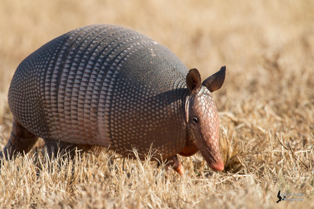 Armadillo by EdgedFeather