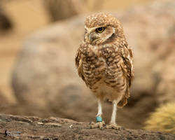 Burrowing Owl 3 by EdgedFeather
