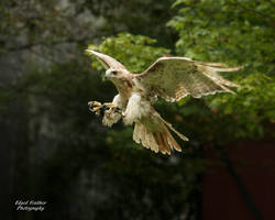 Leucistic Red Tailed Hawk 5 by EdgedFeather