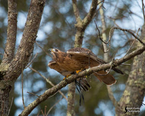 Red Tailed Hawk 12