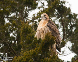 Red Tailed Hawk 13