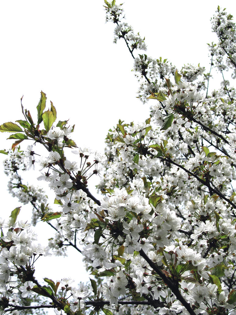 apple tree flowers by kitsune89