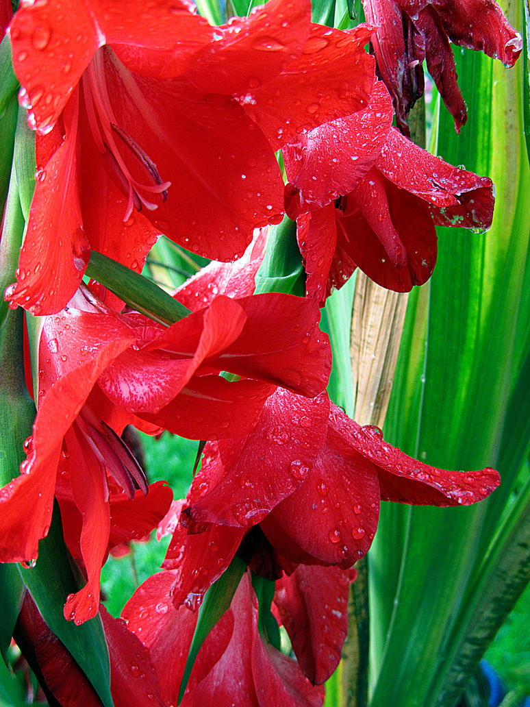 red lilys by kitsune89