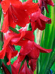 red lilys