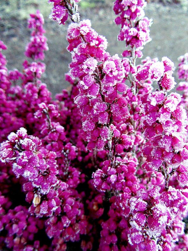 frost flower by kitsune89