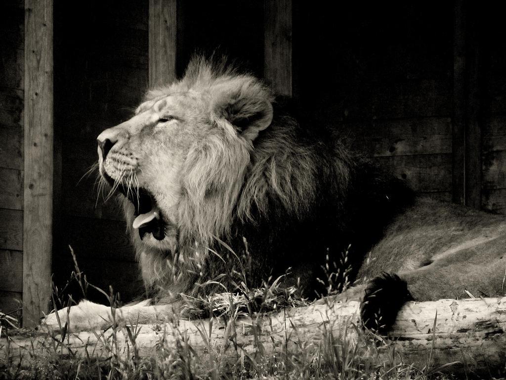 sleepy lion by kitsune89