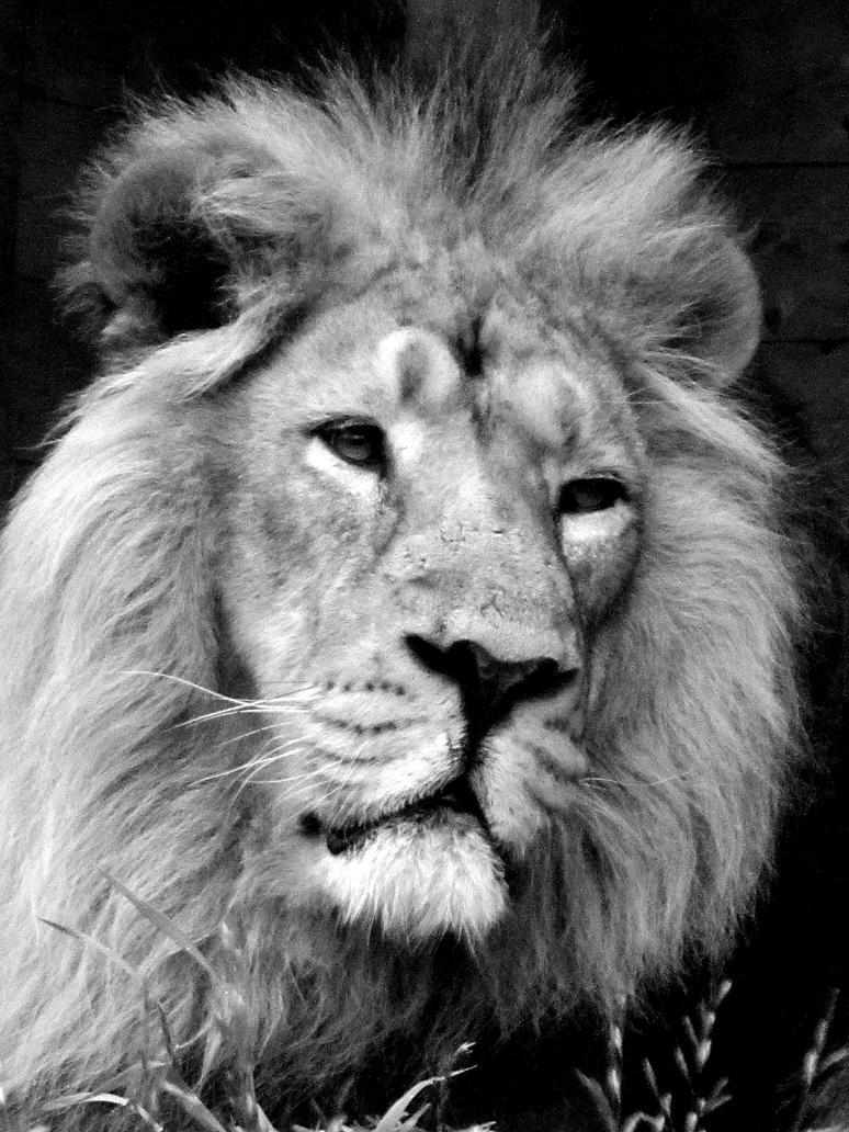 lion by kitsune89