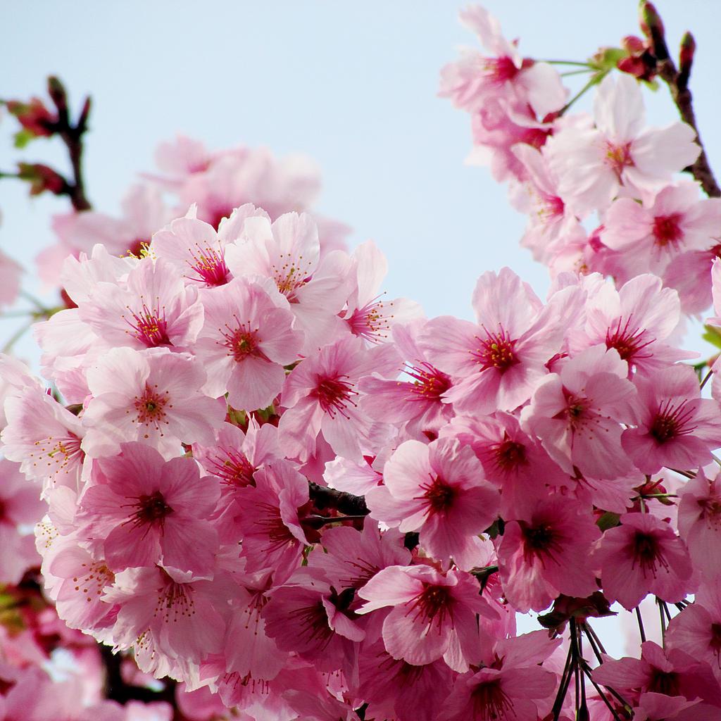 Sakura blossom by kitsune89