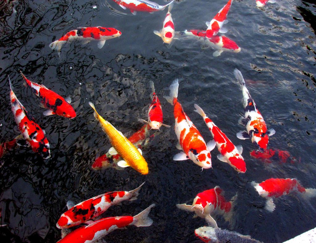Koi fishes by kitsune89